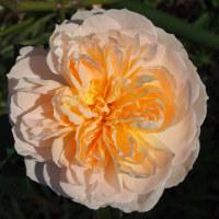 石橋文化センター バラの咲き残り