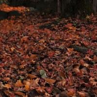 落ち葉のじゅうたん。