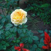 淡い黄色が魅力的 バラの「モリニュー」