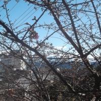 ついに桜が開花しました!!
