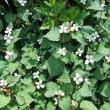 初夏を告げる花 紫陽花