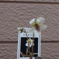 スミレの育て方3月 スミレの花を楽しむ  日本スミレの開花2番目