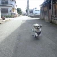 シーズー桃太郎全速力で走る