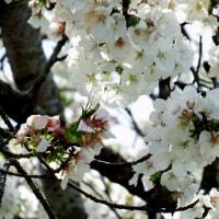 鎮国寺は桜の博覧会・・・2017年桜めぐり(10)
