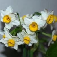 庭の花「ニホンスイセン」