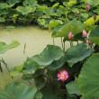 愛西市の蓮の花