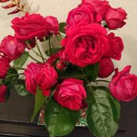 薔薇が咲いた~真っ赤な薔薇🌹がー