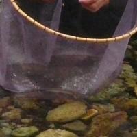 アユの試し釣り (男鹿川)