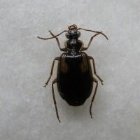 アトグロジュウジアトキリゴミムシ