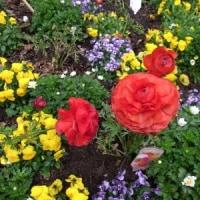 3/12 エリア7Wの花壇:ラナンキュラスとビオラ