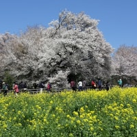 一心行の大桜満開