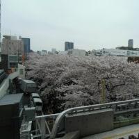 70年前にはなかった目黒川の桜