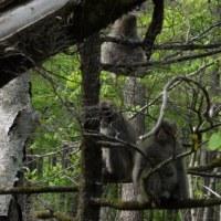 上高地逍遙・野猿の群れ