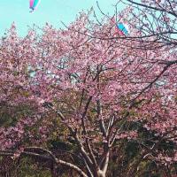 千葉県白子町の「河津桜」2017