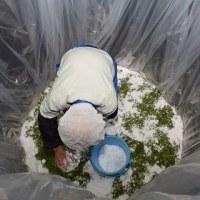 箕面市北部の止々呂美地区で「実サンショウのたる漬け」が行われました!