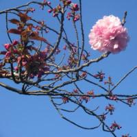 八重桜関山 開花