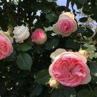 バラとバラとバラの日々