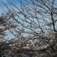満開の桜と残雪