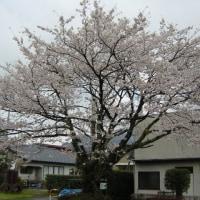 熊本で一番の大桜