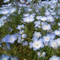 「おはようの花」 ネモフィラ・インシグニスブルー 5月
