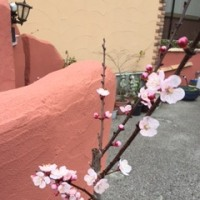 桜じゃないよ!