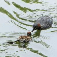 6月28日(水)  カイツブリの親子