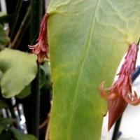 我家の蛍袋と月下美人の花