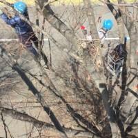 欅の高木自然剪定の作業風景