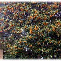 甘~い香りを漂わせる秋の花(^^♪花言葉は謙遜、高潔 香り高い花「金木犀」