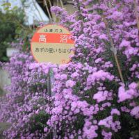 ~ 孔雀草(くじゃくそう) ~ 今月の雑草倶楽部