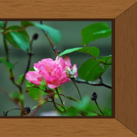 平成28年10月26日(水)の父の薔薇