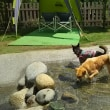 3度めで 泳ぎマスター?! ジュニア犬