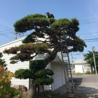 松の木の剪定を
