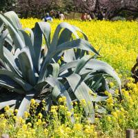 浜離宮庭園には大きなリュウゼツランがあります。 (Photo No.11807)