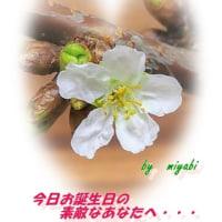蕗の薹 そして 桜~