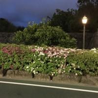 ツツジ 駿府城公園 お堀周辺 ツツジ咲き始めました