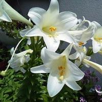 百合の花Ⅰ