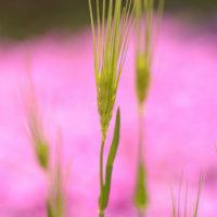 麦とサクラソウ