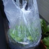 葉物野菜の様子