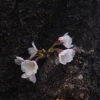 2017年3月23日の隅田川の桜