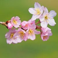 彼岸桜咲く