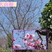 於大公園の花 : ユキヤナギ ・・・ 小彼岸桜が満開になり、大山桜と枝垂れ桜が開花しました。