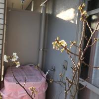 ベランダのお花たち その後……