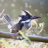 渓流の鳥(ヤマセミとキセキレイ)