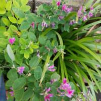 萩とシラン(紫蘭)
