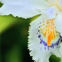 ふた色の デカルコマニー シャガ咲きつ