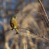 野鳥3種 (20170113)