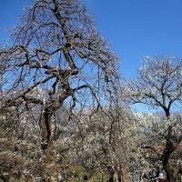 「今日の日記、梅祭りの野点を楽しんで来ました」