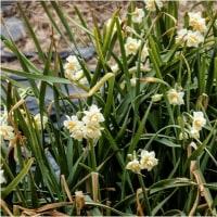 八重咲きの水仙が・・・