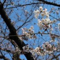 中山周辺の桜-2